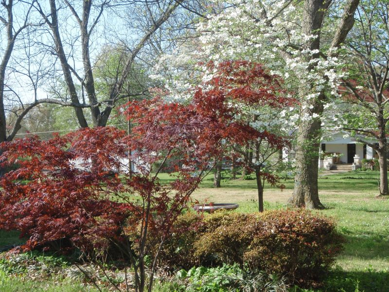The Japanese Maple is looking good