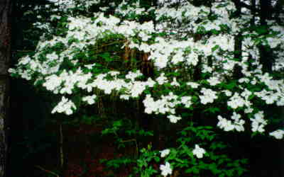 Dogwoods in bloom at Easter in East Texas