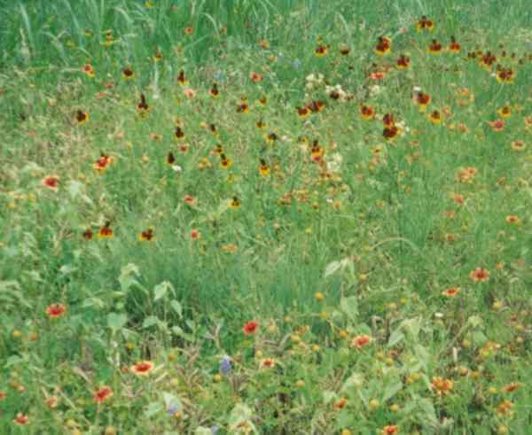 Roadside Wildflowers including some Mexican Hat
